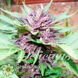 Dark Purple Auto