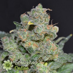Chesse de CBD Seeds