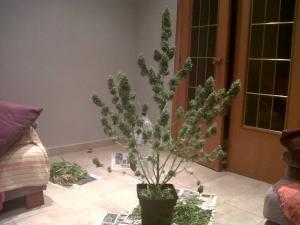 evolucion de las autoflorecientes foto de deimos de buddha seeds